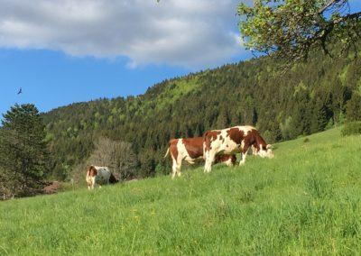 Vaches jurassiennes