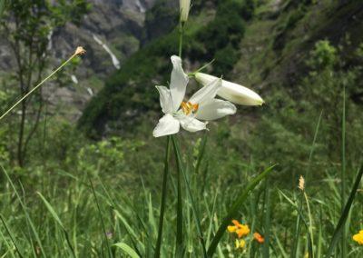 Lys Saint Bruno (ou Lys des Allobroges ou Lys des Alpes)