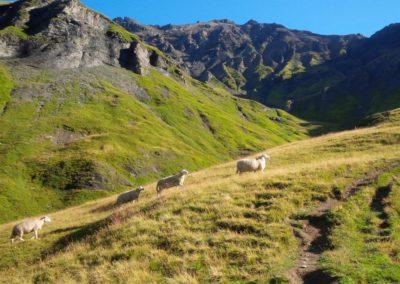 Moutons savoyards