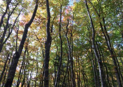 Forêt de hêtres