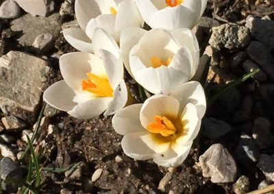 Crocus qui annoncent le printemps